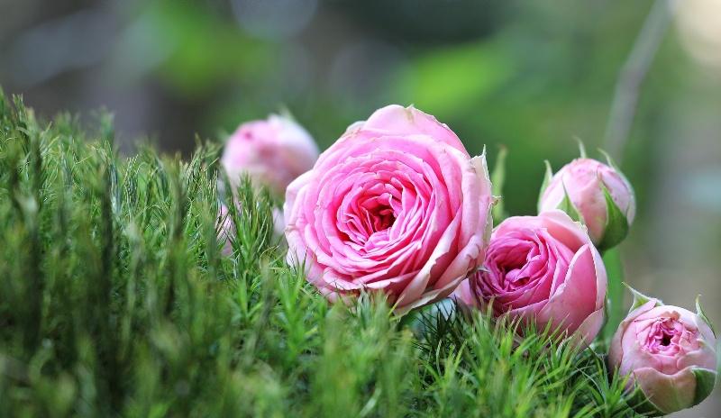 The Rose: A Marian Symbol